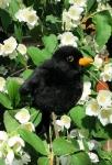 """Blackbird """"Türilü"""""""