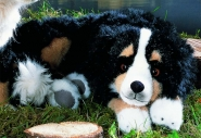 Bernese Mountain Dog, lying