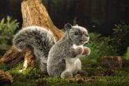 Eichhörnchen, grau