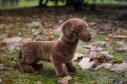 "Short-Haired Dachshund ""Waldi"""