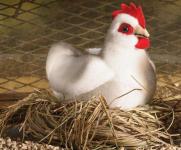 Kleines Huhn, weiß
