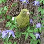 Kanarienvogel, grün