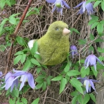 Canary, green