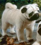 Pug, standing