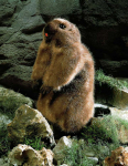 """Marmot """"Murmeli"""""""