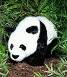 Panda, standing