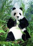 Panda, limitiert
