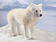Polarwolf, stehend