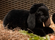 Dwarf lop, lying, black