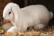 Dwarf lop, lying, white