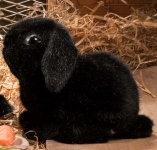 Young dwarf lop, black