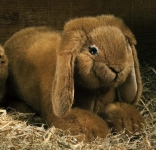 Dwarf lop, lying, rust-coloured
