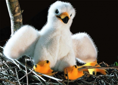 "Eagle Chick ""Toni"""
