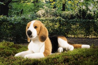 Beagle, lying
