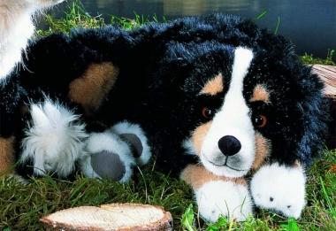 Bernese Mountain Dog, lying