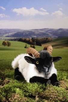 German Moorland Sheep, lying