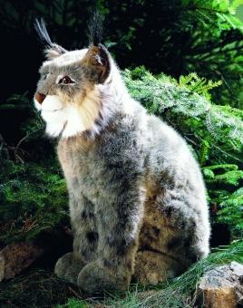 Lynx, sitting