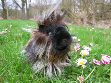 """Guinea Pig """"Mikado"""""""