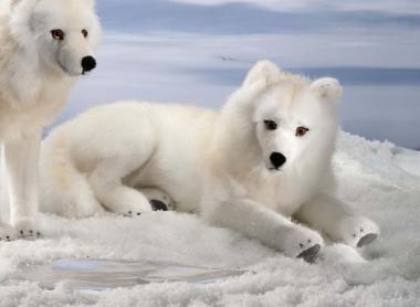 Polarwolf, liegend