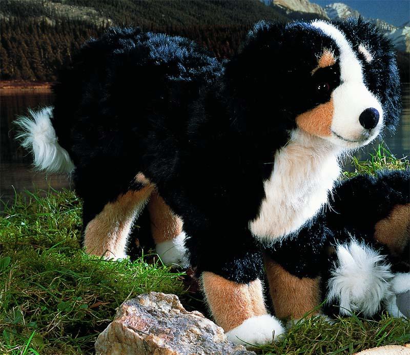 Bernese Mountain Dog, standing