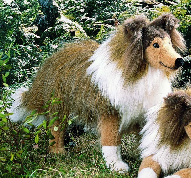 Collie, standing