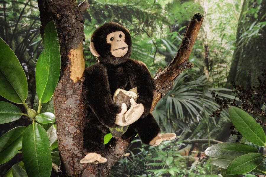 Chimpanzee, small