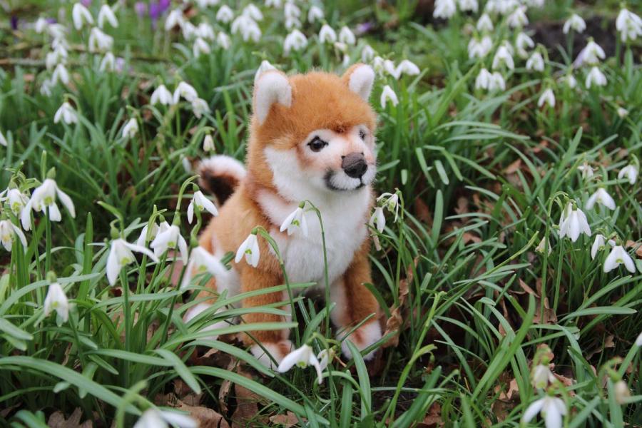 Shiba-Inu puppy
