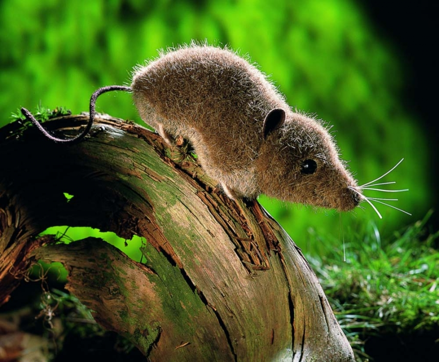 Shrew Mouse