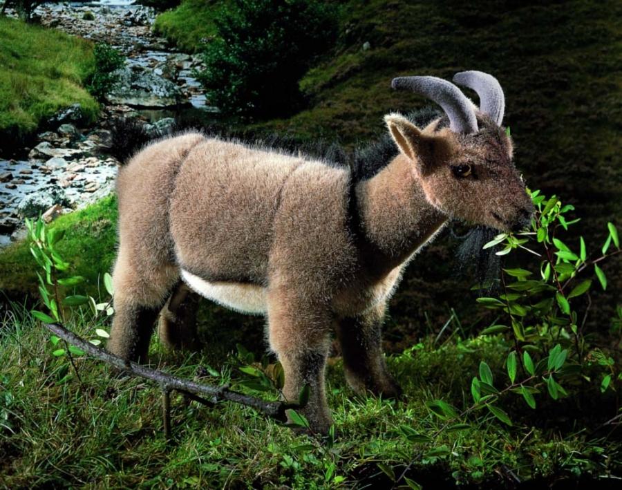 """Goat """"Hanni"""""""