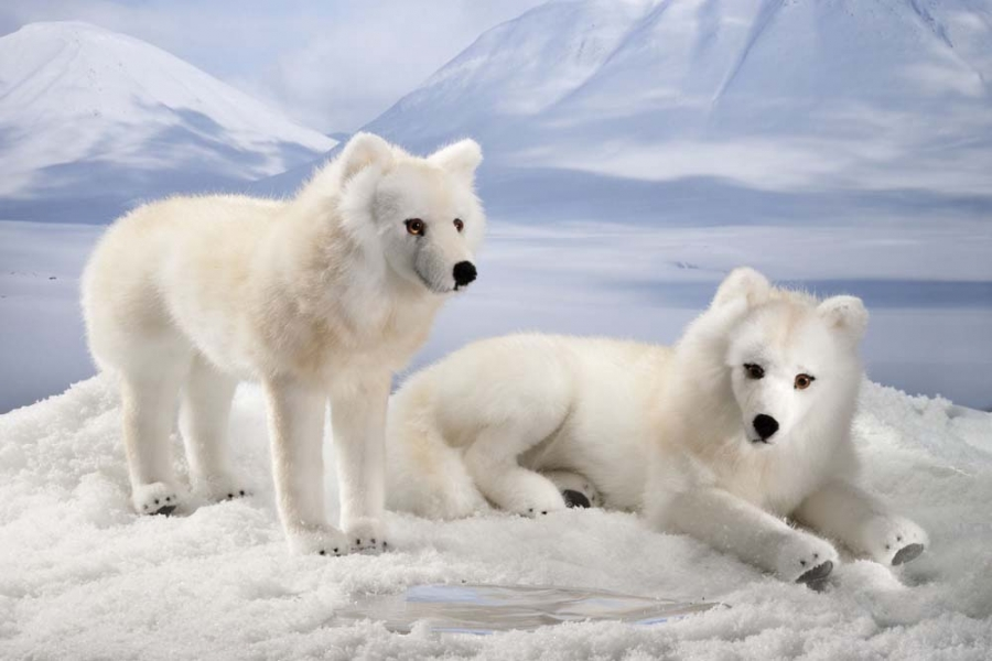 Stamann Musikboxen & Jukebox-World | Arctic Wolf, lying ...  Stamann Musikbo...