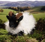 German Moorland Sheep, lying, mohair