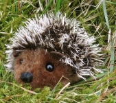 "Mini-Hedgehog ""Pieks"""