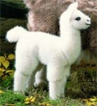 """Llama cria """"Napa"""""""
