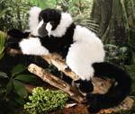 Lemur Schwarz-Weiss