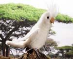 Cockatiel, white