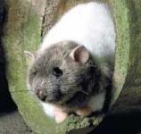 """Rat """"Rasputin"""""""