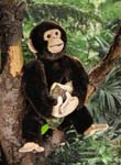 Chimpanzee, small